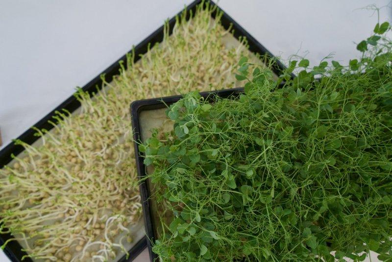 Microgreens an Tag 2 und Tag 7. Während der gesamten Wachstumsphase bleiben sie in den Trays.