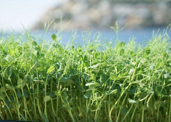 Microgreens verfügen über eine bis zu 40fach höhere Nährstoff-Dichte, als das ausgewachsene Gemüse.